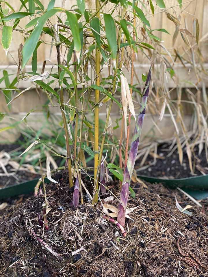 Fast Bamboo Growth Week 2